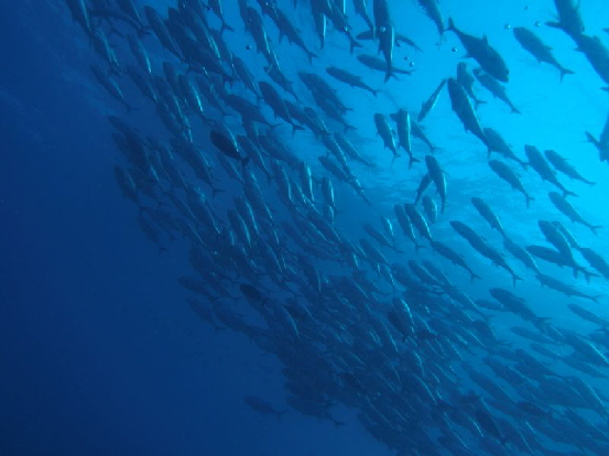 schooling jackfishes